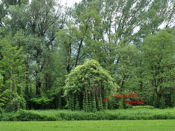 Il luppolo è molto versatile: è comune nei boschi ripariali, sulle recinzioni