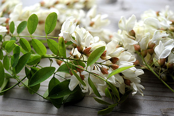 I fiori di Robinia pseudoacacia sono carnosi, dolci e profumatissimi